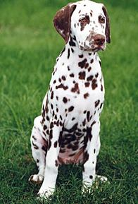 dog breeds with spots