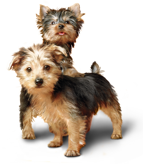 Two Silky Terriers